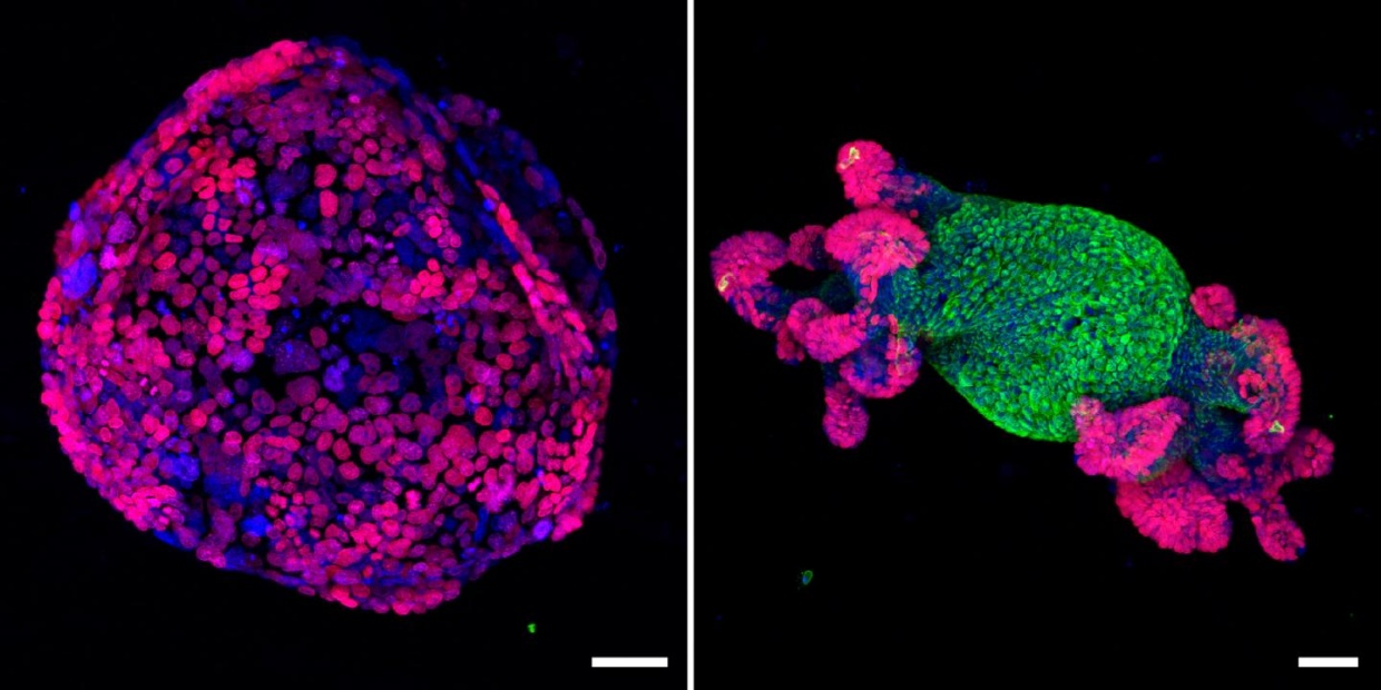Images of intestinal organoid cultures