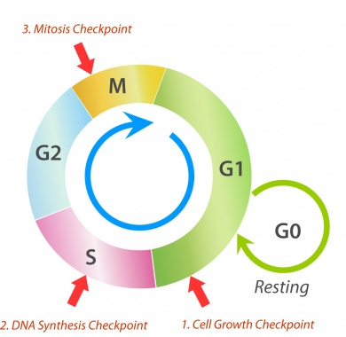 Graphic of the cell cycle