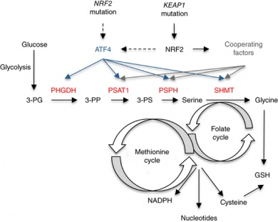 Graphic of NRF2 role in serine-glycine biosynthesis